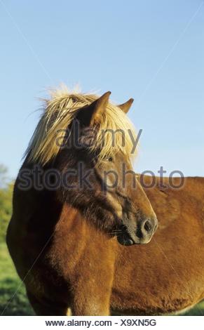 Icelandic horse, Islandpferd, Islandpony - Stock Photo