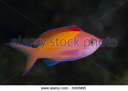 Redfin Fairy Basslet, Pseudanthias dispar, Flores, Indonesia - Stock Photo