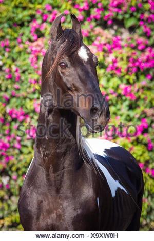 Marwari Horse. Portrait of piebald old stallion. India - Stock Photo
