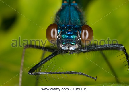 banded blackwings, banded agrion, banded demoiselle (Calopteryx splendens, Agrion splendens), portrait with compound eye, Germany - Stock Photo