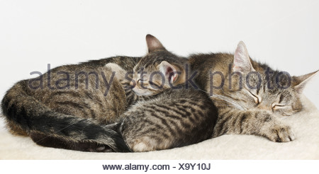 Domestic cats, cat and kitten sleeping - Stock Photo