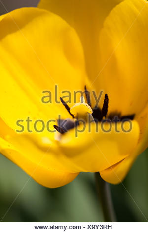 beautiful colorful yellow red tulips flowers - Stock Photo