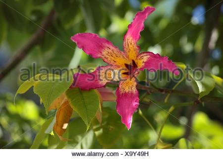silk floss tree, kapok, floss silk tree, ceiba del brasil (Chorisia speciosa), flower, Turkey, Antalya - Stock Photo