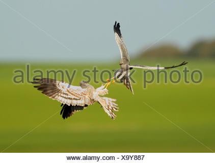 Montagu's Harriers fighting in flight - Spain - Stock Photo