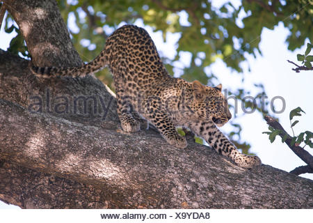 Leopard (Panthera pardus), seven month old cub stretching on a branch - Stock Photo