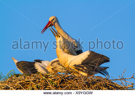 white stork (Ciconia ciconia), feeding of the two young storks on the aerie, Switzerland, Sankt Gallen - Stock Photo