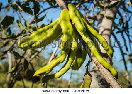 Saint John's bread, also carob tree or locust bean (Ceratonia siliqua) with fruits, Algarve, Portugal - Stock Photo
