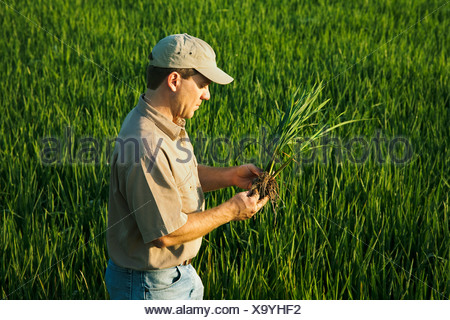 A farmer (grower) in his field inspects his mid growth rice plant at the early head formation stage / Arkansas, USA. - Stock Photo