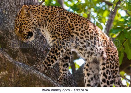 A leopard walks on a tree limb, Kwando Concession, Linyanti Marshes, Botswana. - Stock Photo