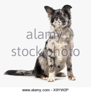 German Shepherd Border Collie cross, 4-month-old - Stock Photo