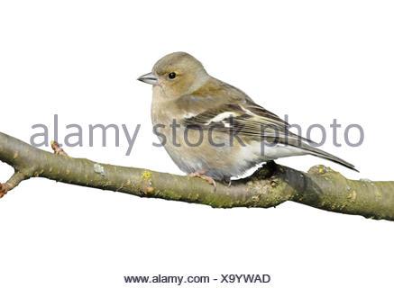 Chaffinch - Fringilla coelebs - female - Stock Photo