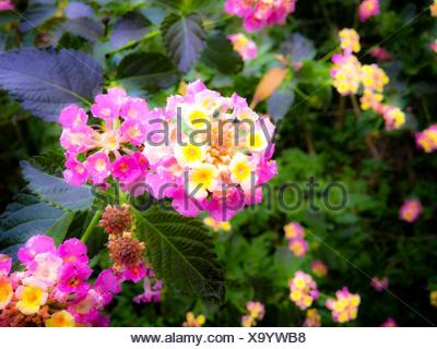 Close-Up Of Pink Lantana Camara - Stock Photo