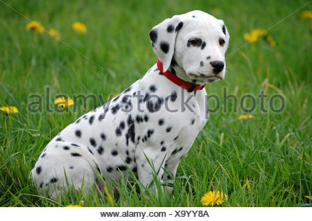 dog puppy dalmatian - Stock Photo