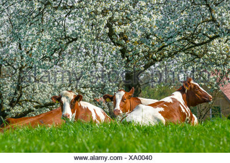 domestic cattle (Bos primigenius f. taurus), cows ruminating on grass before blooming cherry trees, Germany, North Rhine-Westphalia - Stock Photo