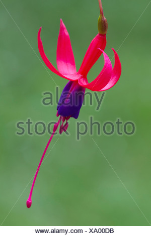Fuchsia 'Baby Blue Eyes', Fuchsia, Pink, Green. - Stock Photo