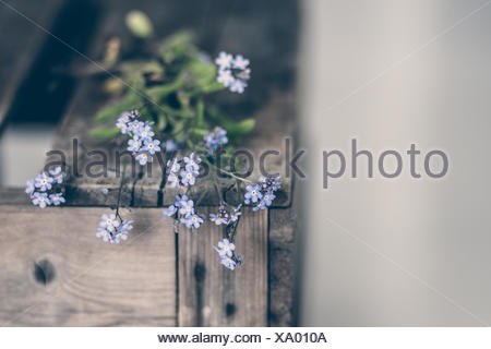 Norway, Forget Me Not flower - Stock Photo