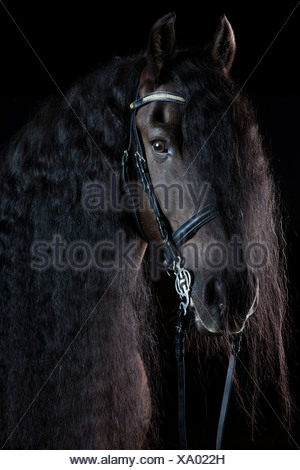 Friesian or Frisian horse breed, portrait with long mane, gelding, black horse - Stock Photo