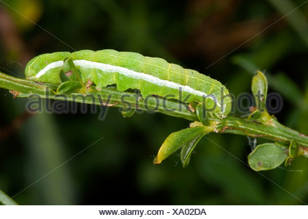 Hebrew character (Orthosia gothica), caterpillar, Germany - Stock Photo