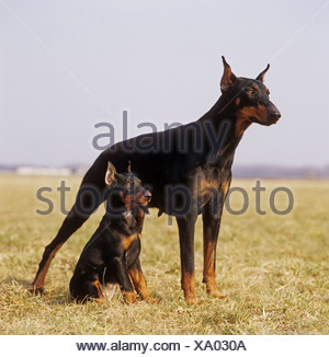 Dobermann and puppy with docked ears - Stock Photo