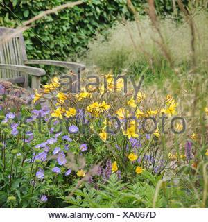 Daylily (Hemerocallis dumortieri), blooming, Germany - Stock Photo