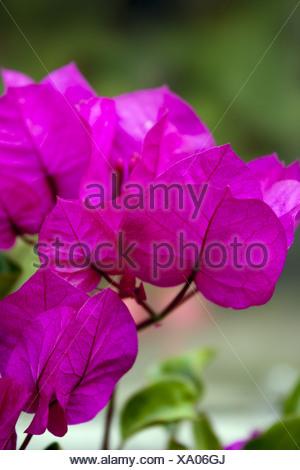 Bougainvillea - Stock Photo