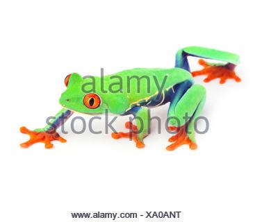 isolated, frog, walk, go, going, walking, macro, close-up, macro admission, - Stock Photo