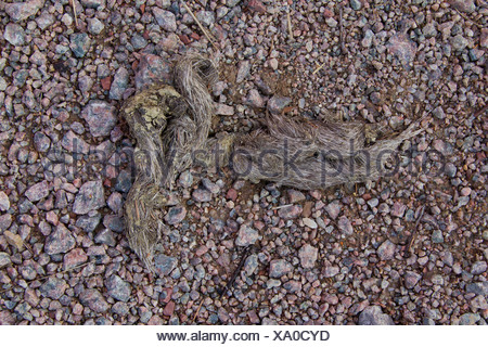 European Wolf (Canis lupus). Droppings with hair of a moose. Sweden, - Stock Photo