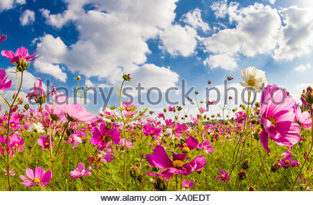 Japan, Okinawa, Cosmos flower field