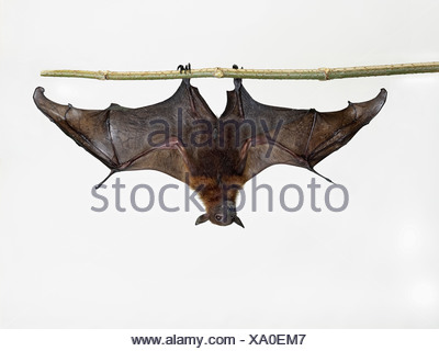 Lyle's fruit bat - Pteropus lylei - Stock Photo