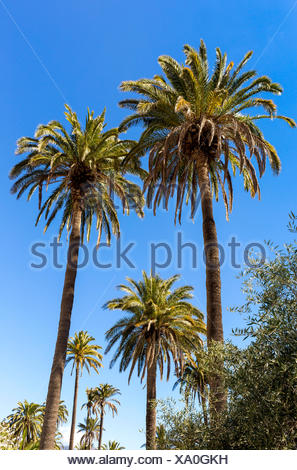 Canary Island Date Palm (Phoenix canariensis), Santa Lucia de Tirajana, Gran Canaria, Canary Islands, Spain - Stock Photo