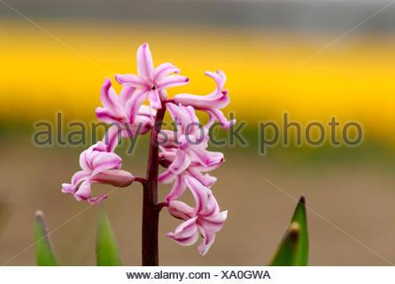 Jacinthe (Hyacinthus orientalis), flowering - Stock Photo