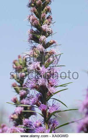 Scaly blazing star - Stock Photo