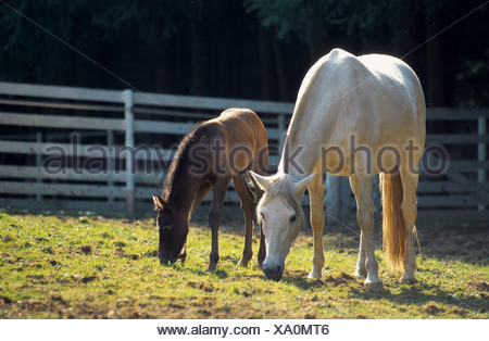 Andalusian horse (Equus przewalskii f. caballus), mare with foal - Stock Photo