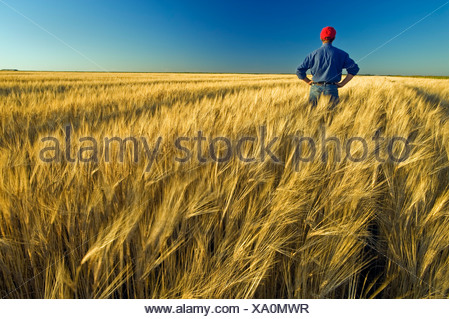 a farmer looks out over his mature harvest ready barley crop with, near Carey, Manitoba, Canada - Stock Photo