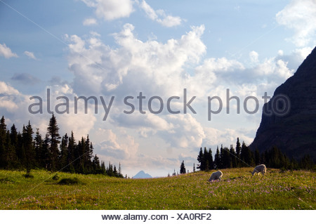 Two mountain goats graze in a field of wildflowers in Glacier National Park, Montana. - Stock Photo