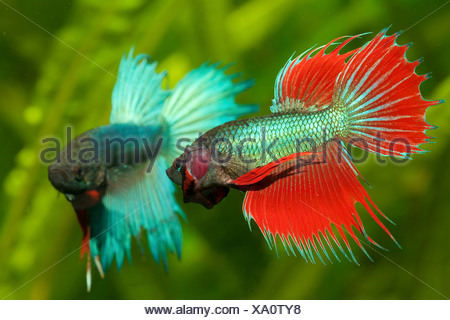 Siamese fighting fish (Betta splendens), fighting males - Stock Photo