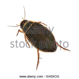 Great Diving Beetle - Dytiscus marginalis - Stock Photo
