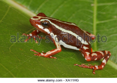 A frog perched on a leaf at Buenaventura Lodge in southwest Ecuador. - Stock Photo