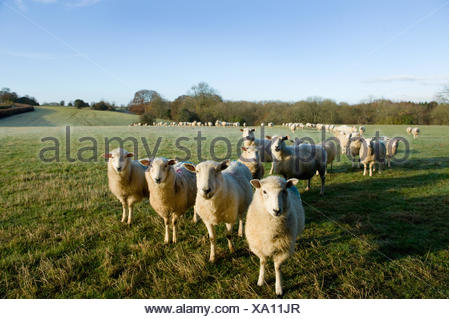 Portrait of curious sheep in field landscape - Stock Photo