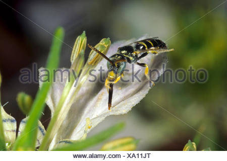 Sweat bee (Nomioides minutissima, Nomioides minutissimus), on Nigella arvensis, Germany - Stock Photo