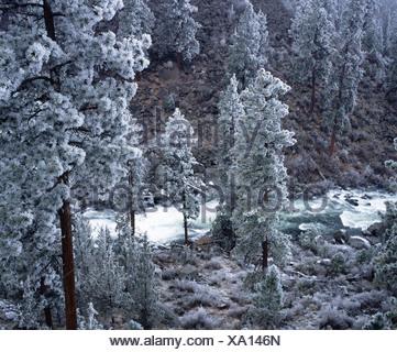 Frost on Ponderosa Pines (Pinus ponderosa). Deschutes River Canyon. Bend. Oregon, USA - Stock Photo