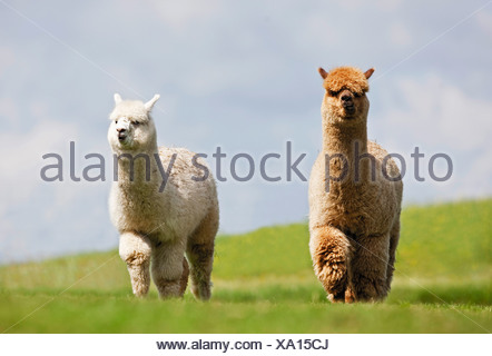 Alpaca (Vicungna pacos) . Two individuals on a pasture - Stock Photo