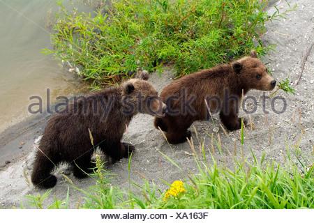 Kamchatka Brown Bear - Stock Photo