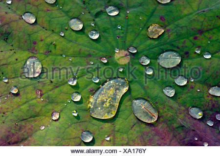 East Indian lotus (Nelumbo nucifera), leaf with water drops - Stock Photo