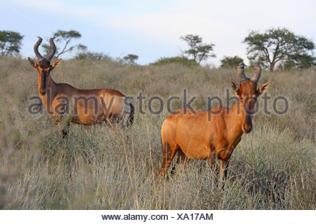 red hartebeest (Alcelaphus buselaphus), two animals in the savannah, South Africa, Kgalagadi Transfrontier National Park - Stock Photo