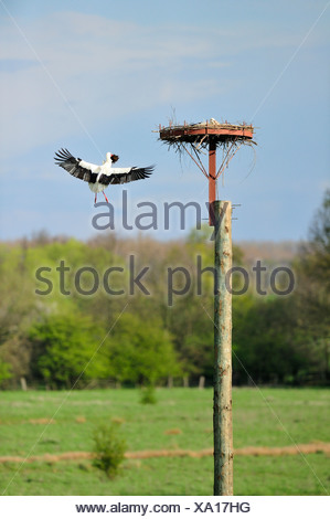 white stork (Ciconia ciconia), adult bird with fodder in the beak flying to the nest, Germany, North Rhine-Westphalia - Stock Photo
