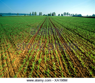 Wheat field, fresh sowing, wheat, grain - Stock Photo