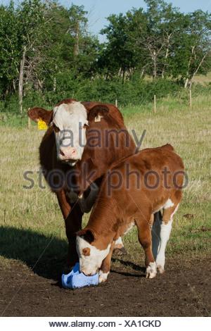Livestock - Crossbred beef cow and her calf licking a salt block / Alberta, Canada. - Stock Photo