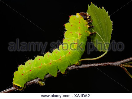 Luna or Moon Moth Caterpillar Actias luna larvae feeding on birch leaves bright green