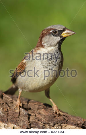 house sparrow (Passer domesticus), male on a tree trunk, Germany, North Rhine-Westphalia - Stock Photo
